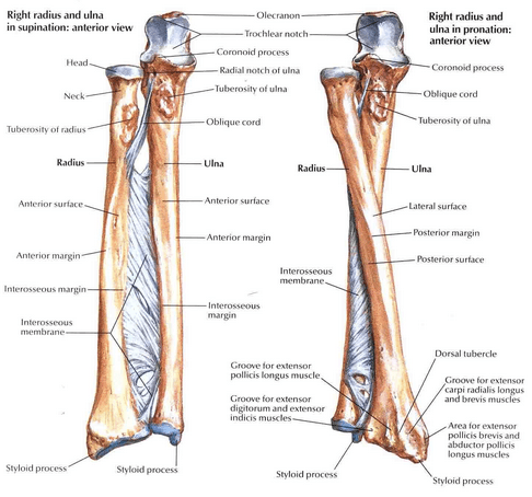 Forearm Fractures in Adults | Bone and Spine