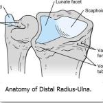 Anatomy of Distal Radius