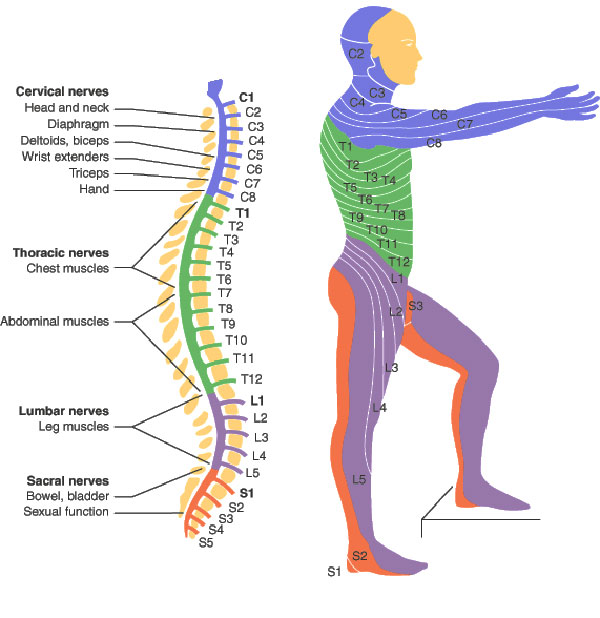 Spinal Cord Injury Levels | Bone and Spine