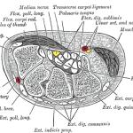 Scaphoid Bone Anatomy