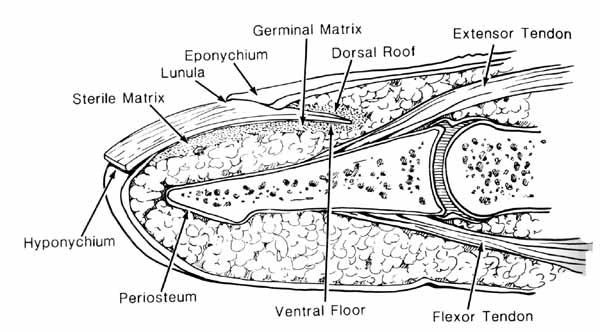 Antatomy of Nail