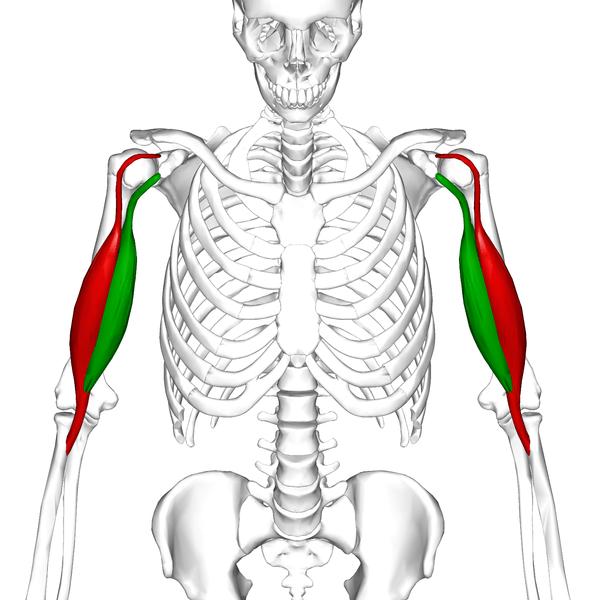 Bicipital Tendonitis Or Biceps Tendonitis Bone And Spine