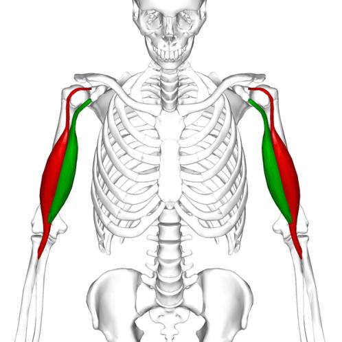bicipitant-tendonitis-relevant-anatomy