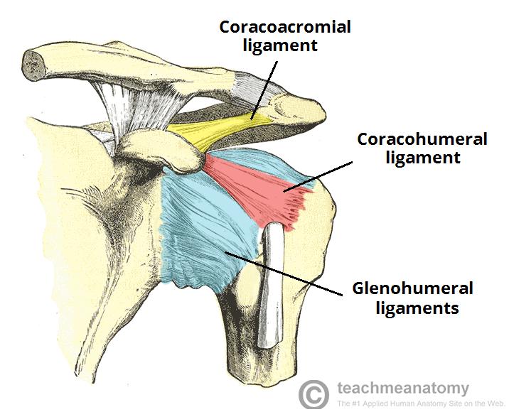 Ligaments of shoulder joint