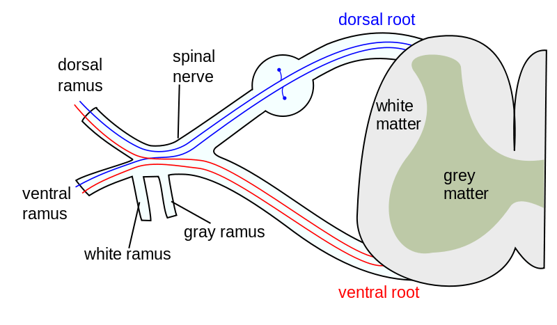 What Are Spinal Nerves Bone And Spine