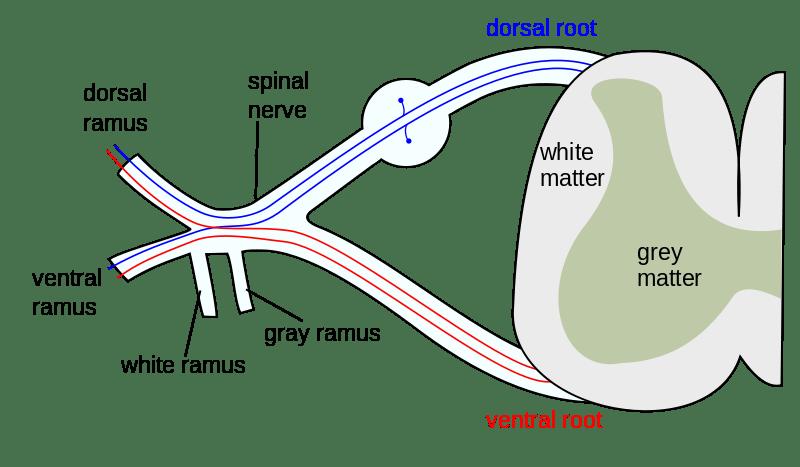 Pinal Nerves