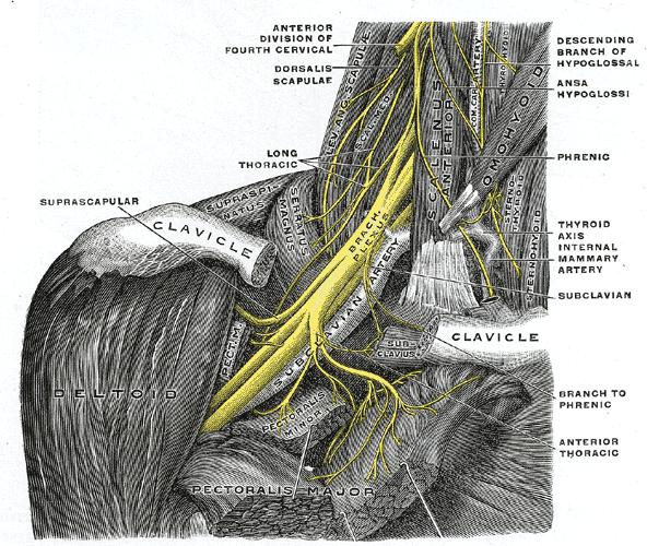 Suprascapular nerve arising from brachial plexus, Public domainimage