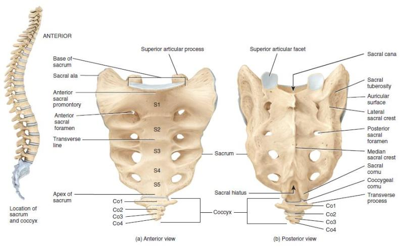 Sacrum bone anterior and posterior view