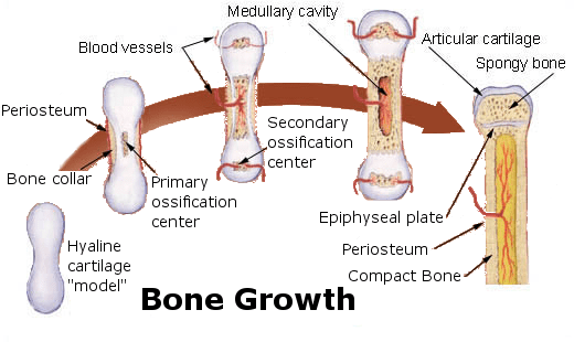 The Young Orthopod: Blood Supply of Long Bone