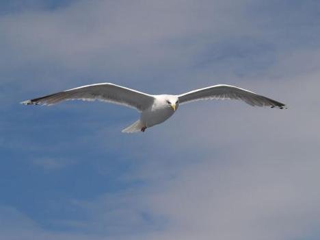 seagull-gull-wing-deformity