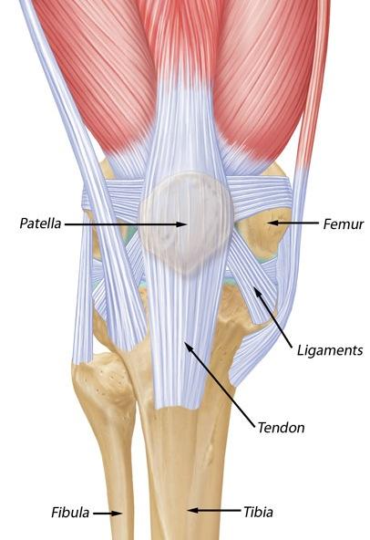 knee and patella