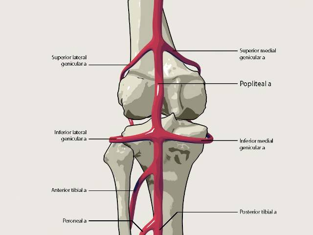 Popliteal Artery Anatomy And Course Bone And Spine
