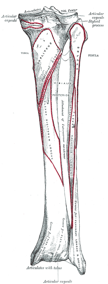 Fibula Bone Anatomy | Bone and Spine