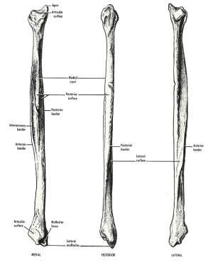 Fibula Bone Anatomy | Bone and Spine