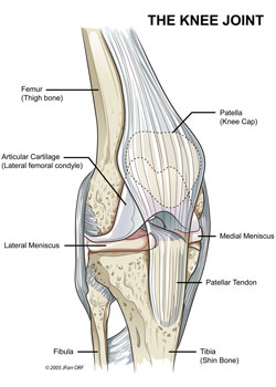 Knee joint anatomy bone and spine it is a compound synovial joint incorporating two condylar joints between the condyles of the femur and tibia and one saddle joint between the femur and ccuart Choice Image
