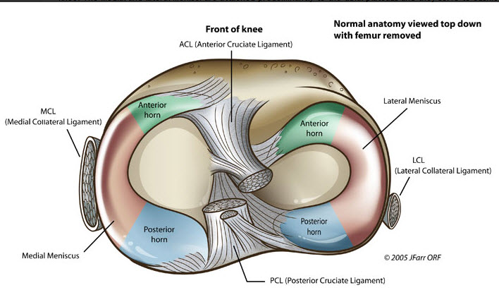 Meniscus knee anatomy