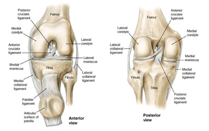 Knee joint anatomy bone and spine ligaments of knee ccuart Choice Image