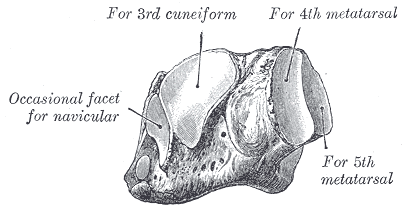 cuboid bone
