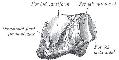 Tarsal Bones - Anatomy and Attachments | Bone and Spine