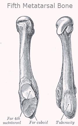 Fifth Metatarsal Bone