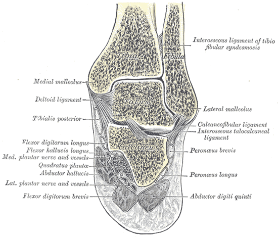 inferior-tibiofibular-joint