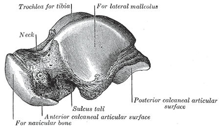 talus-left-lateral-view