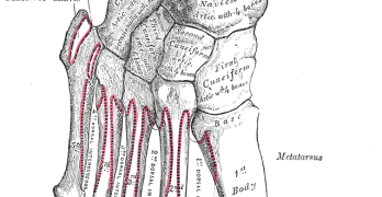Tarsal Bones – Anatomy and Attachments