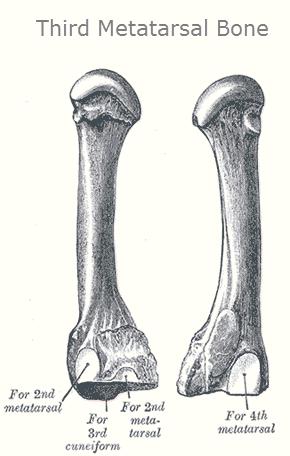 Third Metatarsal Bones