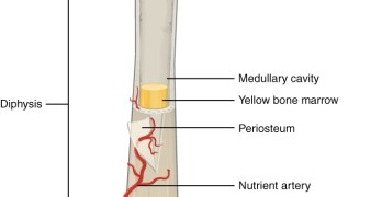 Long Bone Parts and Blood Supply