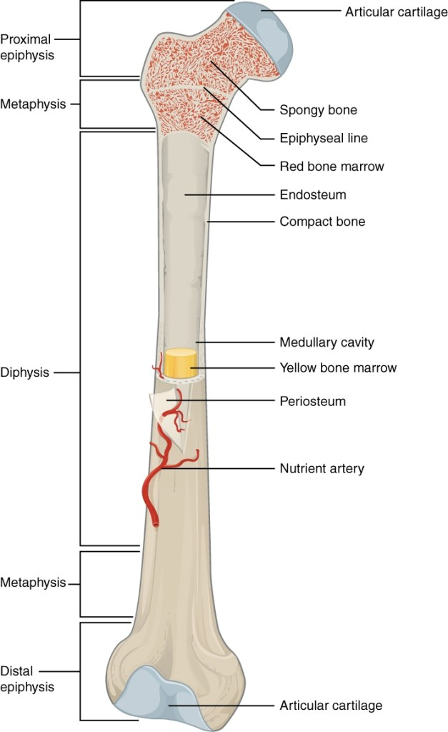 Long Bone Parts And Blood Supply Bone And Spine