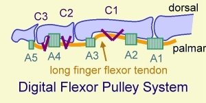 Flexor tendon pulley system of finger