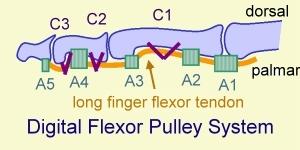 Flexor tendon pulley system of finger