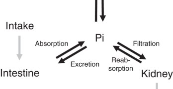 Phosphorus Metabolism