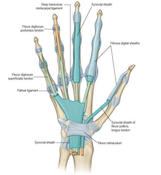 Fibrous flexor sheaths and synovial sheaths