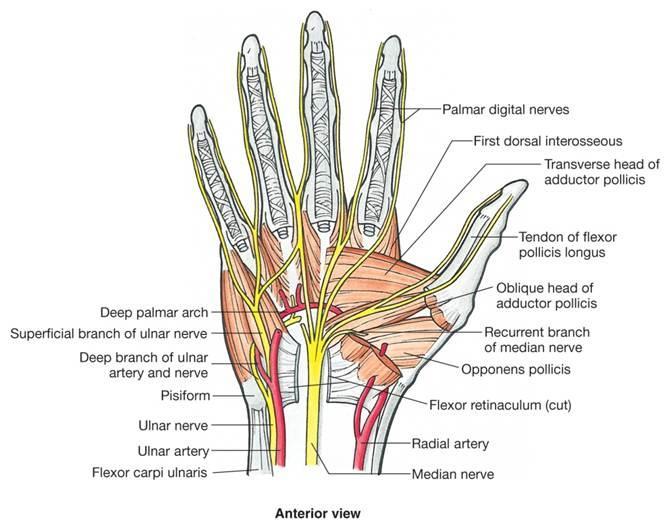 Median nerve and ulnar nerve distribution