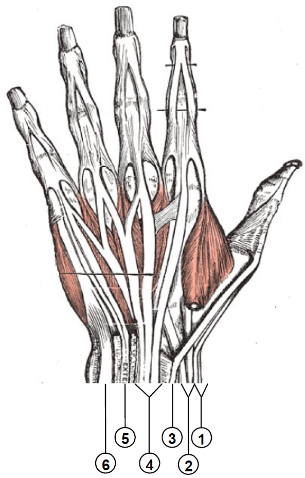 Extensor compartment of wrist