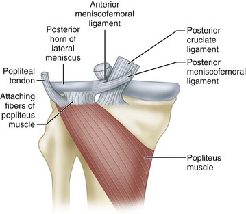 Meniscofemoral ligaments of knee