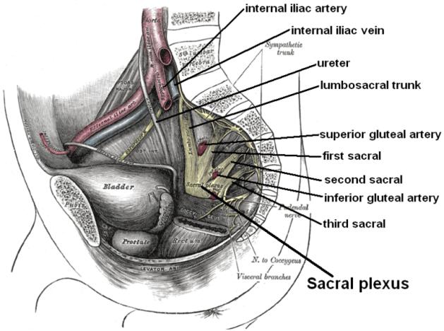 Relations of lower lumbosacral plexus or sacral plexus