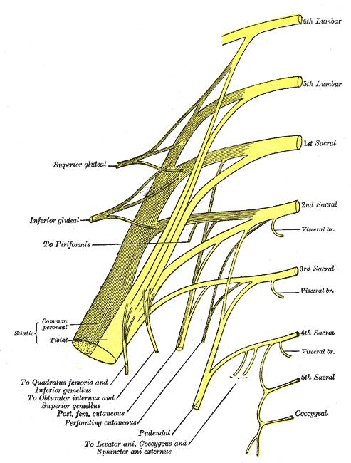 sacral plexus or lower lumbosacral plexus