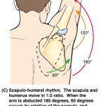Normal Scapulohumeral Rhythm and Its Significance