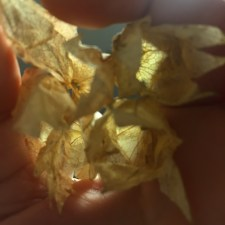 husk cherries