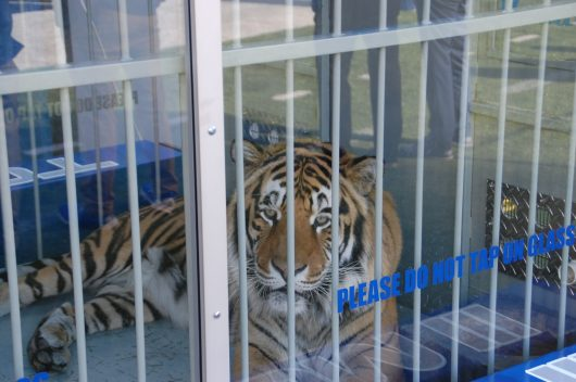 One of the guards for Tom the Tiger, Memphis mascot, said he has a 3,500 square-foot private habitat with two swimming pools. (Photo by Al Myatt)