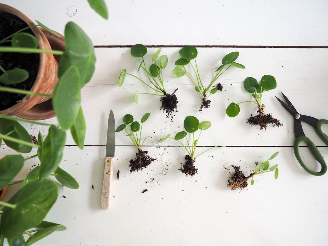 concours Pilea peperomioides