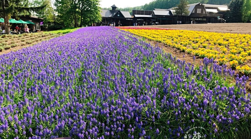 (北海道-富良野) 享受自然風光的富良野自駕之旅~必吃美食,推薦景點,自駕心得分享