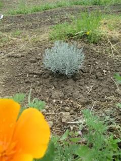 Helichrysum italicum (Immortelle d'Italie)