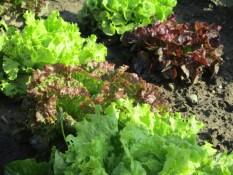 Assortiement de salades