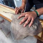 Marine Conservation Education sting ray