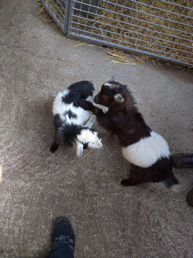 The baby goats were so funny