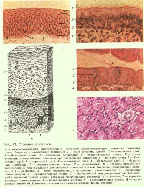 фото всех типов эпителия нашей системе
