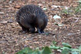 Echidna (together with the Platypus the only egg-laying mammals, or monotremes)
